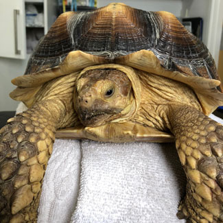 Tortoise trouble blog, before surgery