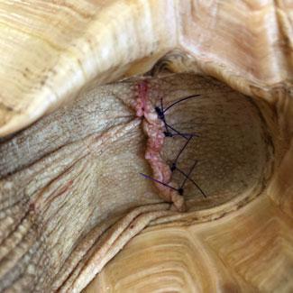 Tortoise trouble blog, stitches on leg