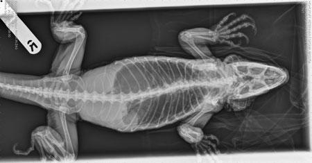 X-ray of Zag the iguana